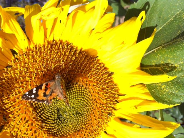 sunflower-with-moth